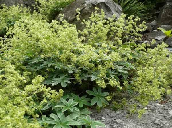 alchemille-plante-vivace