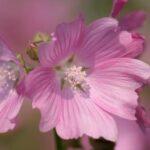 alcea-rose-temiere-plante-vivace