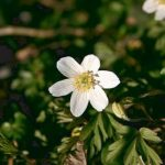 anemone de printemps