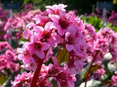 Bergenia-plante-vivace