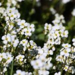 arabis plante vivace