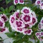 dianthus-plante-vivace