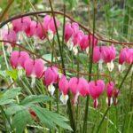 dicentra-spectabilis-plantes-vivaces