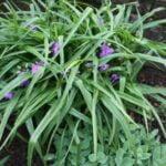 Tradescantia plante vivace