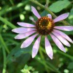 Echinacee plante vivace
