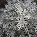 Plante-vivace-cinéraire