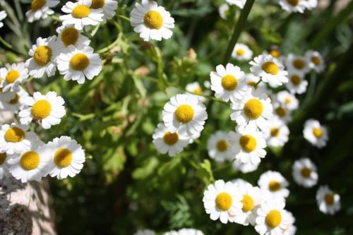 camomille plante vivace