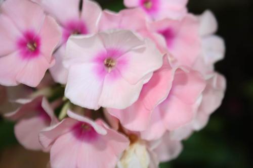 phlox plante vivace