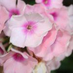 plante vivace phlox