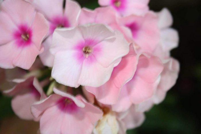Phlox plantation culture et entretien les - Phlox vivace couvre sol ...