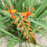plante vivave crocosmia