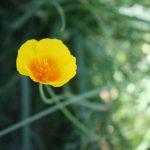 pavot-plante-vivace