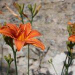 hemerocalle-plante-vivace