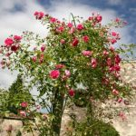 rosier-grimpant-plante-vivace