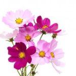 cosmos-plantes-vivaces
