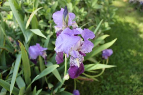 iris-plante-vivace