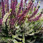 bruyere-plante-vivace