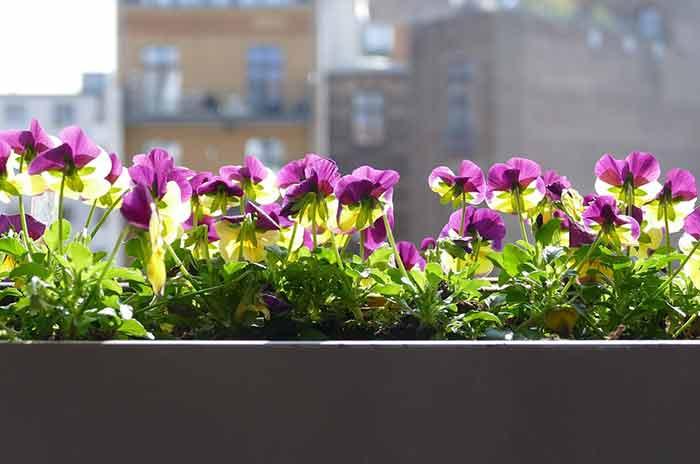 fleurs du balcon