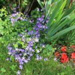 campanule-plante-vivace