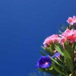 maladie-laurier-rose