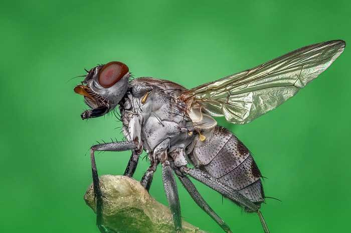 éliminer les mouches à la maison