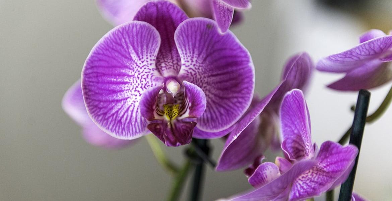 entretien-orchidee